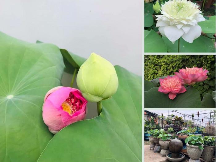Nhà vườn bán hạt giống, chậu sen Bách Diệp trắng, hồng ngàn cánh trưng trước sân nhà, ban công, ao hồ, bể cảnh