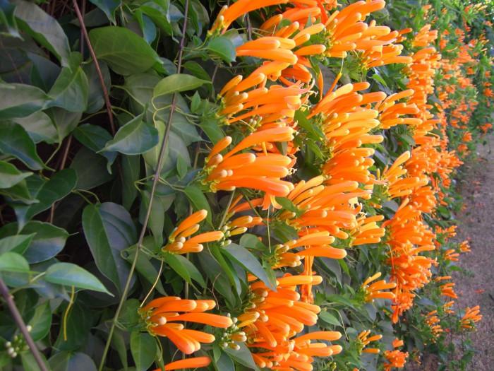 Các loại cây dây leo có hoa đẹp