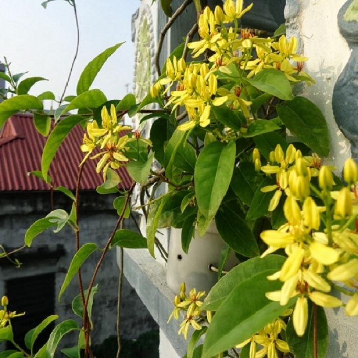 Cây dây leo có hoa màu vàng