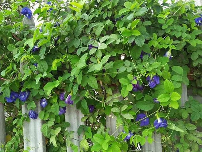 Hoa dây leo dễ trồng