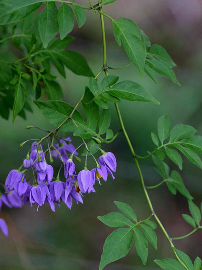 cây hoa leo từ Đà Lạt