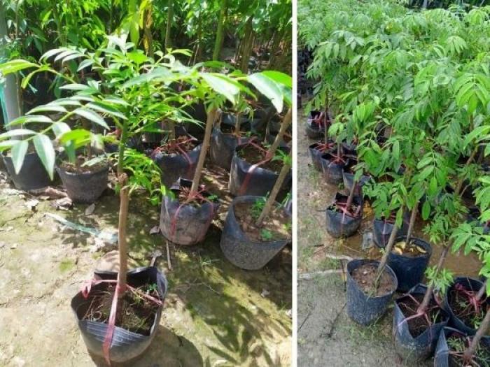 Mua cây cóc thái ở Hà Nội