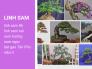 Cây linh sam có mấy loại? Cây linh sam 86, linh sam núi, sam hương, sam ngọc, hạt gạo Tân Phú, siêu rẻ trên MuaBanNhanh
