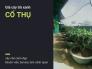 Giá cây chè xanh cổ thụ đường kính gốc lớn từ 15cm - 60cm - cây chè cảnh đẹp khuôn viên, bonsai, làm cảnh quan trên MuaBanNhanh