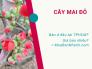 Cây mai đỏ bán ở đâu TPHCM - Cập nhật hoa mai đỏ giá bao nhiêu trên MuaBanNhanh