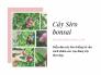 Cây Siro bonsai bán ở đâu? Diễn đàn cây Siro kiểng tư vấn cách chăm sóc, tạo dáng cây Siro đẹp