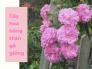 Cây hoa hồng thân gỗ giống - mua cây giống hoa hồng thân gỗ ở đâu TPHCM