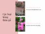 Các loại hoa hồng thân gỗ - Cách ghép hoa hồng thân gỗ, hoa hồng thân gỗ có dễ trồng không? bao lâu ra hoa?
