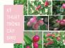 Kỹ thuật trồng cây siro: cách ươm hạt cây siro, cách chiết cây siro, chọn mua hạt giống cây siro