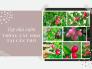 Top nhà vườn chuyên trồng cây siro Cần Thơ - nguồn cung cây siro giá rẻ