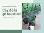 Cây đô la giá bao nhiêu? Danh sách nhà vườn bán cây kiểng đô la cho nhà phố đô thị