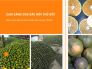 Giá cam sành tại chợ đầu mối Thủ Đức - bán sỉ cam sành tại các chợ đầu mối trái cây TPHCM
