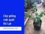 Địa chỉ bán cây việt quất Đà Lạt - Tư vấn cách trồng, chăm sóc cây việt quất tại nhà trên chợ cây giống MuaBanNhanh