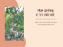 Mua hạt giống cây bồ đề - cách ươm cây bồ đề con theo kinh nghiệm nhà vườn trên MuaBanNhanh