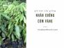 Giá cây giống nhãn xuồng cơm vàng từ nhà vườn trên MuaBanNhanh