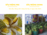 Giá sầu riêng cơm vàng hạt lép, vị ngọt, béo đậm - so sánh sầu riêng dona và ri6
