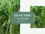 Giống cỏ voi VA06 bán ở đâu TPHCM - Tư vấn cách trồng cỏ VA06 làm thức ăn cho bò sữa