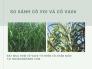 So sánh cỏ voi và cỏ VA06 - đặt mua hom cỏ VA06 từ vườn cỏ chăn nuôi tại MuaBanNhanh