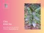 Cây khôi tía mua ở đâu? Địa chỉ nhà vườn bán cây khôi tía TPHCM trên MuaBanNhanh