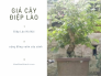 Cây Điệp Lào giá bao nhiêu? Giá cây Điệp Lào Hà Nội từ cộng đồng vườn cây cảnh MuaBanNhanh