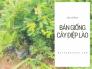 Địa chỉ bán cây Điệp Lào ở đâu? Cách chăm sóc cây Điệp Lào tư vấn từ vườn ươm cây hoa cảnh MuaBanNhanh