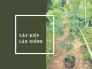 Bán giống cây Điệp Lào (Kiều Hùng) giá nhà vườn nhân giống