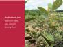 Làm giàu từ trồng cây sim - mô hình trồng sim rừng ở Quảng Nam