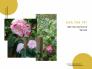 Đặt mua cây hoa trà Sài Gòn trồng trong nhà dịp Tết