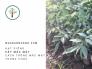 Hạt giống cây mắc mật - Cách trồng cây mắc mật trong chậu