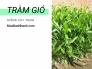 Giống cây tràm gió - Nông nghiệp xanh với trồng cây tràm gió lấy tinh dầu