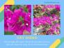 Giá hoa giấy cẩm thạch TPHCM từ nhà vườn - mua hoa giấy cẩm thạch đỏ, vàng, tím lá nhỏ dáng bonsai