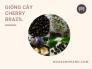 Cây Cherry Mỹ có trồng được ở Việt Nam không? Vì sao cây Cherry Brazil phù hợp cho điều kiện nhiệt đới ở miền Nam