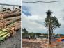 Cây dừa cảnh giá bao nhiêu? Địa chỉ mua cây dừa cảnh thân to, đẹp TPHCM