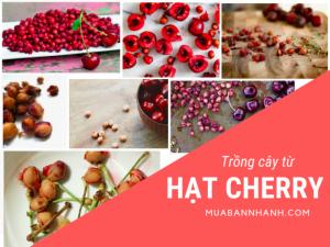 Hạt giống Cherry mua ở đâu - Cách trồng Cherry từ hạt tươi, cách ươm hạt giống Cherry