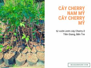 Cách mua cây Cherry Nam Mỹ, cây Cherry Mỹ nhiệt đới từ vườn ươm cây Cherry ở Tiền Giang, Bến Tre