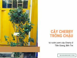 Bán cây Cherry trồng chậu - giống cây Cherry lùn để ban công chung cư, sân thượng nhà phố