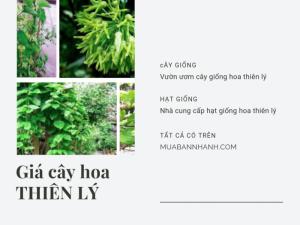 Giá cây hoa thiên lý giống, giống hoa thiên lý bán ở đâu cho năng suất cao - tư vấn từ nhà vườn trên MuaBanNhanh