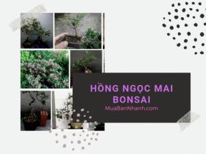 Mua bán cây hồng ngọc mai bonsai, hồng ngọc mai ôm đá tại làng hoa Gò Vấp TPHCM - thông tin từ MuaBanNhanh