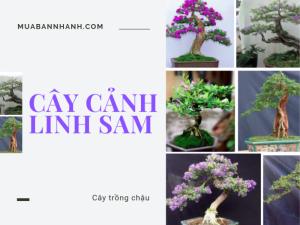 Cây linh sam có dễ trồng không? Địa chỉ bán phôi linh sam Sông Hinh, An Hải, Bình Định, Ninh Thuận, Nha Trang, Phú Yên