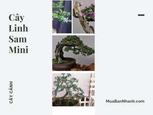 Cây cảnh linh sam mini đẹp - bonsai linh sam 86 mini từ shop bán chậu bonsai mini TPHCM trên MuaBanNhanh
