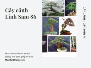 Mua bán cây linh sam 86 giống, linh sam ghép 86 trên MuaBanNhanh