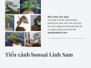 Làm giàu với tiểu cảnh bonsai, bonsai linh sam mini, linh sam lũa, linh sam ghép đá không khó khi đã có nguồn giống linh sam trên MuaBanNhanh