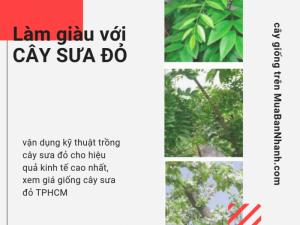 Làm giàu nhờ vận dụng kỹ thuật trồng cây sưa đỏ cho hiệu quả kinh tế cao nhất, xem giá giống cây sưa đỏ TPHCM