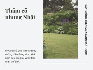 Làm giàu từ trồng cỏ nhung Nhật - loại cỏ nhà giàu sân vườn vila, biệt thự, resort có bán tại MuaBanNhanh