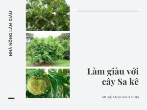 Trồng cây sa kê làm giàu - Tìm hiểu về cây sa kê, cách giâm cành cây sa kê chia sẻ từ vườn ươm trên MuaBanNhanh