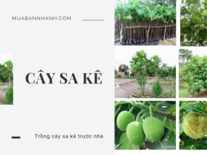 Trồng cây sa kê trước nhà có tốt không? Cây sake rễ chùm hay cọc? Bán cây sa kê TPHCM
