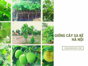 Bán cây sake giống ở Hà Nội với giá rẻ từ nhà vườn nhân giống cây sa kê số lượng lớn trên MuaBanNhanh