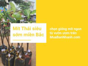 Mô hình trồng mít Thái siêu sớm ở miền Bắc - chọn giống mít ngon từ vườn ươm trên MuaBanNhanh