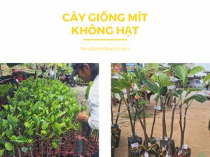 Mua bán cây giống mít không hạt - Tham khảo mô hình trồng mít không hạt - Trần Minh Mẫn, Ba Láng, Cái Răng, Cần Thơ