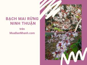 Bán cây bạch mai rừng Ninh Thuận - chia sẻ cách trồng bạch mai rừng từ nhà vườn trên MuaBanNhanh
